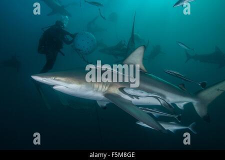 Taucher und ozeanischen Schwarzspitzen Haie (Carcharhinus Limbatus) Versammlung in Aliwal Shoal, Durban, Südafrika - Stockfoto