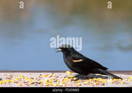 Rotschulterstärling (Agelaius Phoeniceus) Essen Samen am Futterhäuschen - Stockfoto