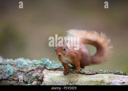Eichhörnchen; Sciurus Vulgaris auf Log Schottland Single; UK - Stockfoto