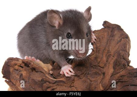 ausgefallene Ratte auf Baumwurzel - Stockfoto
