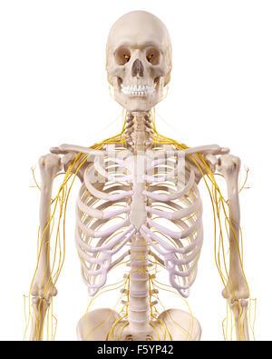 medizinisch genaue Abbildung der Thorax Nerven - Stockfoto