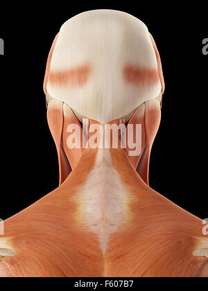 medizinische genaue Abbildung von Kopf-Nacken-Muskulatur Stockfoto ...