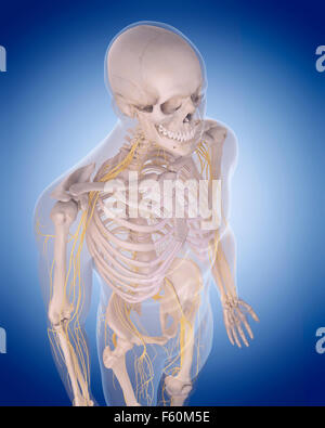 medizinisch genaue Abbildung - Nerven des Oberkörpers - Stockfoto