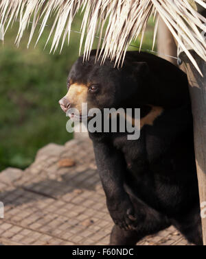 Die Sun Bear (Helarctos Malayanus), in seinem Gehege bei Rare Species Conservation Centre, Sandwich, Kent - Stockfoto