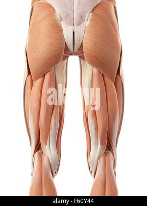 medizinisch genaue Abbildung der hinteren Beinmuskulatur - Stockfoto