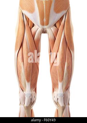 medizinisch genaue Abbildung der vorderen Beinmuskulatur - Stockfoto