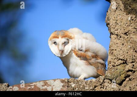 Gemeinsamen Schleiereule (Tyto Alba), junge sitzt auf Wand, Kasselburg, Eifel, Deutschland - Stockfoto
