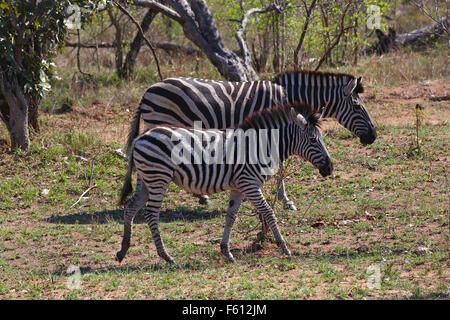 Burchell Zebra (Equus Quagga Burchelli), Mutter mit Kalb, Krüger Nationalpark, Südafrika - Stockfoto