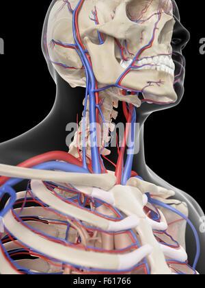 Kopf-Hals-Arterien, artwork Stockfoto, Bild: 56386102 - Alamy