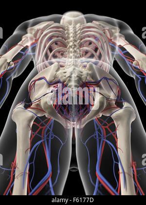 medizinisch genaue Abbildung des Becken-Herz-Kreislauf-Systems ...