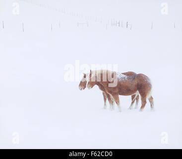 USA, Colorado, zwei Pferde im Schneesturm - Stockfoto