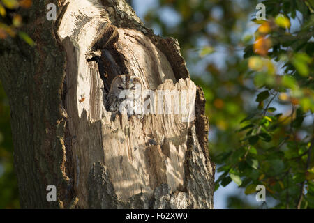 Waldkauz, Waldkauz, Ruht bin Tage in Einer Baumhöhle, Strix Aluco, Wald-Kauz, Kauz, Käuzchen - Stockfoto