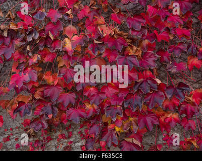 Rote Blätter im Herbst von wildem Wein, fünf großblättrige Efeu (Parthenocissus Quinquefolia) für eine Betonwand - Stockfoto