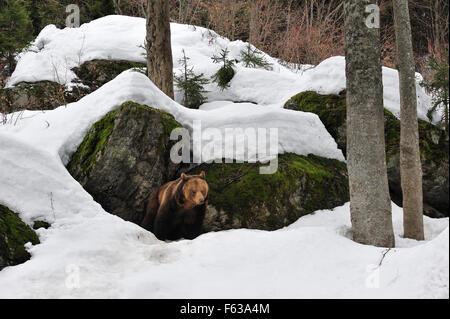 Europäischer Braunbär (Ursus Arctos Arctos) weibliche im Schnee im Frühjahr aus Den zwischen den Felsen im Wald - Stockfoto