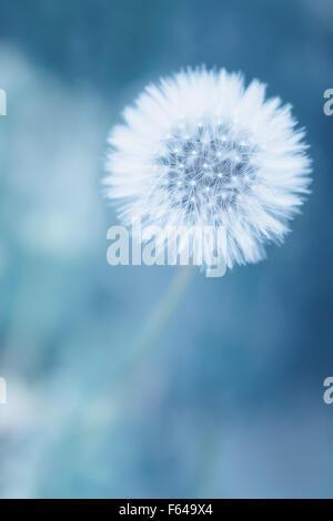 Eine Nahaufnahme von Löwenzahn Blumen mit Samen als Hintergrund - Stockfoto