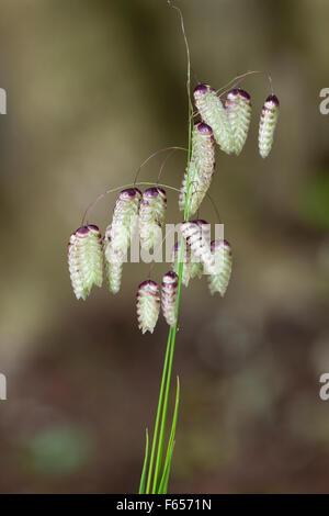 Baumelnde Blütenköpfchen des dekorativen jährlichen großen Beben Grases, Briza maxima - Stockfoto