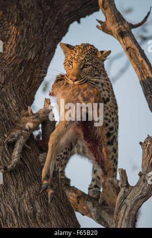 Leopard mit Kill im Baum, Moremi National Park, Botswana - Stockfoto