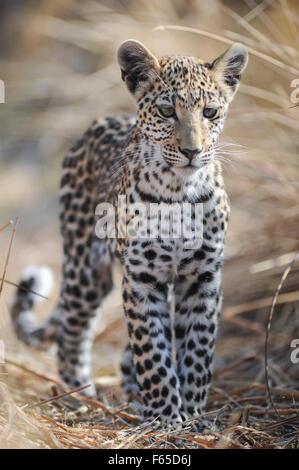 Leopard (panthera pardus) Cub in langen Gras in vollem Sonnenlicht im Moremi NP (khwai), Botswana - Stockfoto