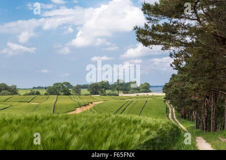 Ein Pfad führt durch ein Feld auf dem Gelbe Ufer auf der Halbinsel Zudar, Rügen - Stockfoto