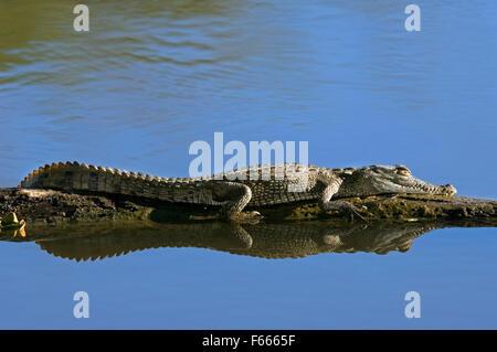 Brillentragende Kaiman / weiß Kaiman / gemeinsame Kaiman (Caiman Crocodilus) sonnen sich auf Log in Fluss, Costa - Stockfoto