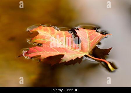 Blattsilber Ahorn (Acer Saccharinum), Einzel-herbstlich bunte Blatt schwimmt auf der Wasseroberfläche, Deutschland - Stockfoto