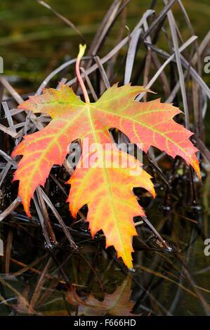 Silber Maple Leaf (Acer Saccharinum), herbstlich farbige Blatt auf eine Wasserpflanze, Deutschland - Stockfoto