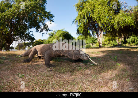 Komodo-Waran, Varanus Komodoensis, Komodo National Park, Indonesien - Stockfoto