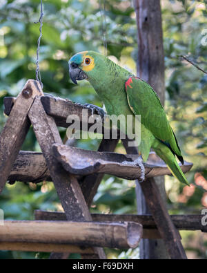 Gebänderten blau-fronted Amazon Papagei auf einem Feeder, Burraco Das Araras, Mato Grosso, Brasilien - Stockfoto