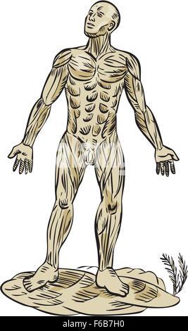 Anatomie des männlichen Muskulatur, Vorderansicht Stockfoto, Bild ...