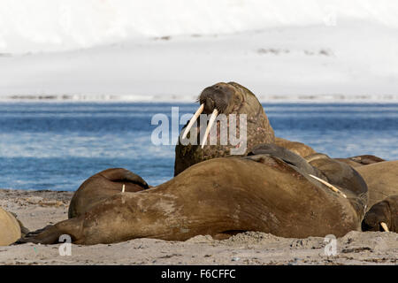 Walrosse auf den Strand, Svalbard, Spitzbergen, Norwegen, Europa / Odobenus Rosmarus - Stockfoto