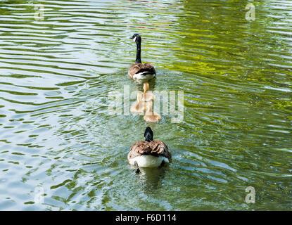Familie mit zwei Erwachsenen Kanadagänse und drei Gänsel entfernt auf dem grünen Wasser schwimmen. - Stockfoto