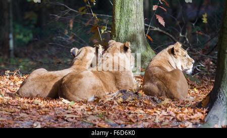 Drei Löwinnen genießen die Sonne im Herbst - Stockfoto