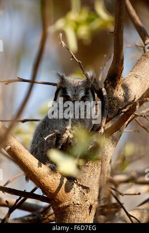 Diese südlichen White-faced Eule Mama hatte 4 flauschige Owlet Jungvögel im Baum mit ihr. Eine außergewöhnliche - Stockfoto