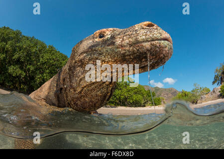 Komodo-Waran, Varanus Komodoensis, Komodo, Indonesien - Stockfoto
