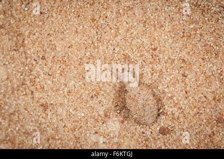 9a74457b773f2e Diese Insekten in Sand eingraben und schaffen charakteristische Trichtern