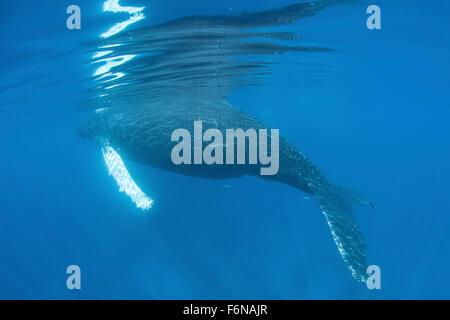Ein Buckelwal (Impressionen Novaengliae) Oberflächen in der Karibik zu atmen. Atlantic Buckelwale migrieren aus - Stockfoto