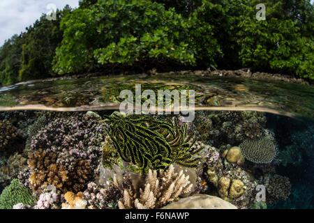Eine bunte Crinoid klammert sich an ein flaches Riff auf den Salomonen. Dieser schöner melanesischen Region ist - Stockfoto