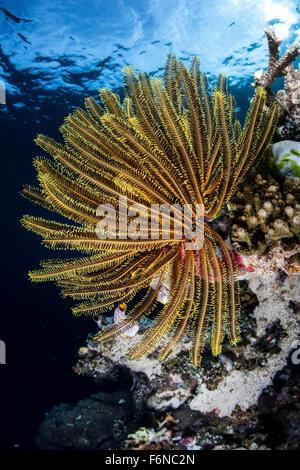 Eine bunte Crinoid klammert sich an einem Riff Dropoff in Raja Ampat, Indonesien. Diese schöne Region ist bekannt - Stockfoto