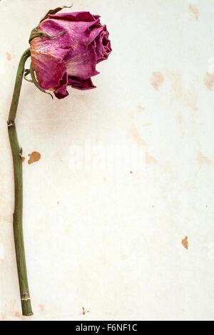 Eine trockene Rose auf gefärbten Papier mit Textfreiraum - Stockfoto