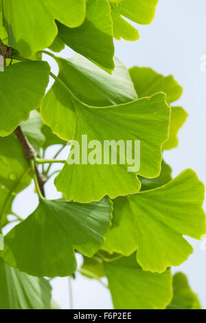 tausend baum ginkgo baum ginkgo ginko baum ginkgo biloba bl tter deutschland stockfoto. Black Bedroom Furniture Sets. Home Design Ideas
