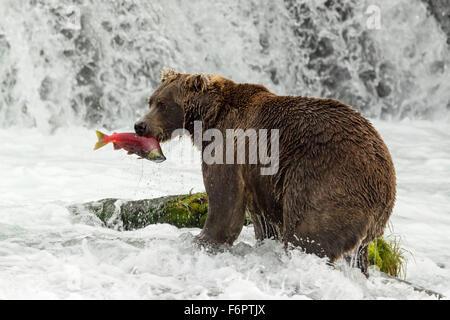 Männliche Braunbären fangen laichen rot Lachs an den Brooks Falls, Katmai Nationalpark, Alaska - Stockfoto