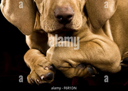 Nahaufnahme Portrait Vizsla Welpen Hund gerichtete Kamera im Studio auf schwarzen Pfoten Vorderbeine auf gefaltet - Stockfoto