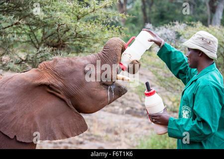 Halter eine hungrige Waise afrikanischer Elefant Kalb Fütterung Loxodonta Africana, Sheldrick Elephant Orphanage, - Stockfoto