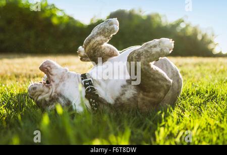 Olde English Bulldog Welpen im Feld Rollen - Stockfoto