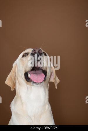 Labrador posiert in einem Studio gegen eine Wand Creme und braun - Stockfoto