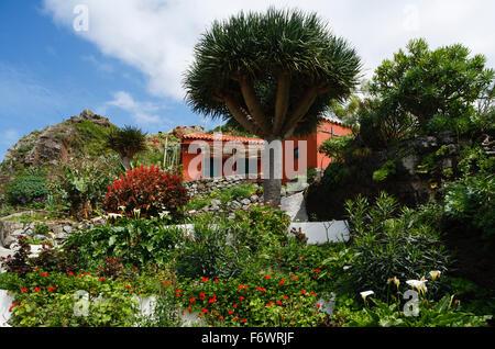 Ferienhaus mit Drachenbäumen, Dorf Afur, Barranco de Afur, Canyon in der Nähe von Afur, Las Montanas de Anaga, natürlichen - Stockfoto