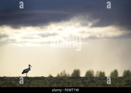 Weißstorch (Ciconia Ciconia) und dramatischen Himmel. Europa - Stockfoto