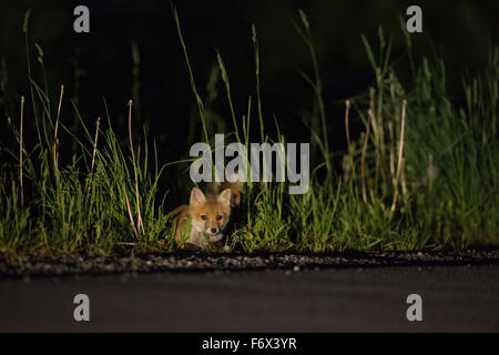 Zwei jungen roten Fuchs / Füchse (Vulpes Vulpes) in der Nacht, in hohen Gräsern entlang einer Straße, versteckt - Stockfoto