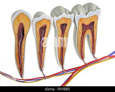 Anatomie des menschlichen Zähnen Querschnitt Stockfoto, Bild ...