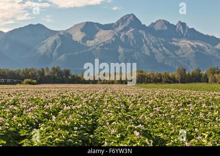 Blühende Kartoffelfeld, Chugach Berge in der Ferne. - Stockfoto